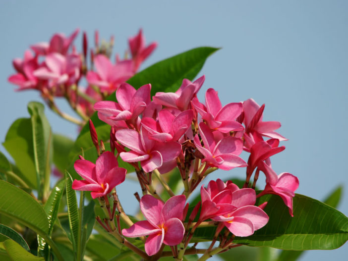 Plumeria rubra (Frangipani)