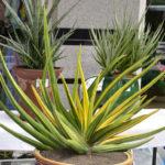 Sansevieria patens f. variegata