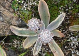 Thompsonella minutiflora