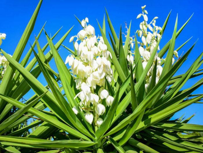 Yucca Plants Bloom