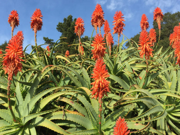 Aloes Bloom