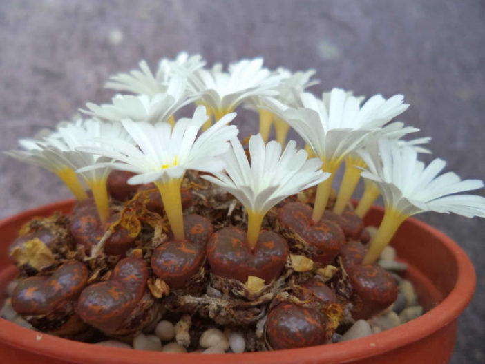 Conophytum pellucidum subsp. cupreatum