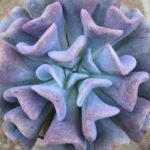 Echeveria 'Cubic Frost'