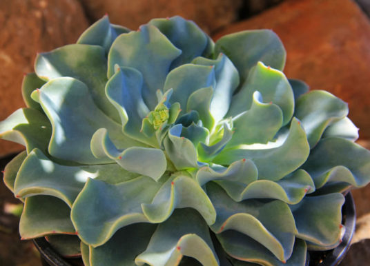 Echeveria 'Galaxy Blue'