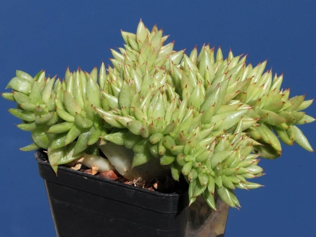 Echeveria agavoides f. cristata (Crested Molded Wax Agave)