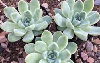 Echeveria albicans (Whitening Echeveria)