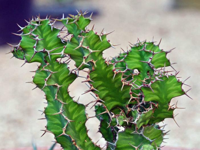 Euphorbia 'Zig Zag'