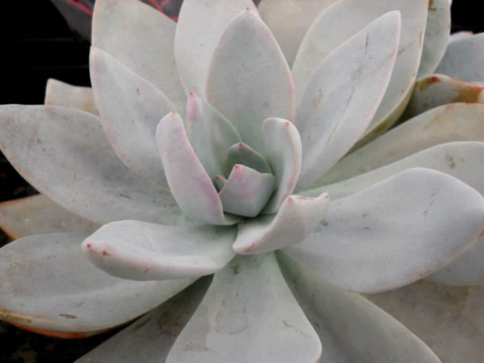 Graptoveria 'Platinum'