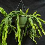 Lepismium cruciforme f. spiralis (Hurricane Cactus)