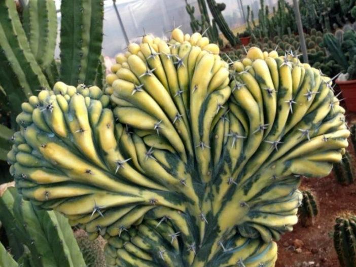 Myrtillocactus geometrizans f. cristata variegata