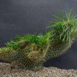 Pachypodium lamerei f. cristata (Crested Madagascar Palm)