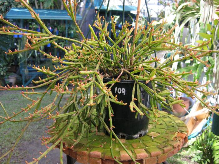 Rhipsalis ewaldiana (Mistletoe Cactus)