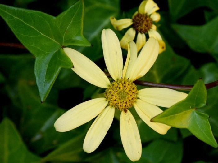 Senecio macroglossus (Wax Ivy)
