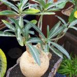 Adenium obesum subsp. somalense aka Adenium somalense