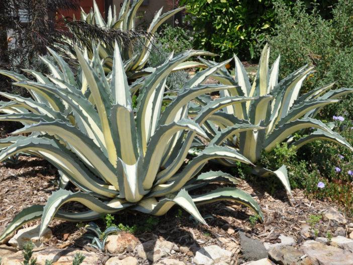 Agave americana 'Mediopicta Alba' (White-striped Century Plant)