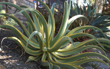 Agave vilmoriniana 'Stained Glass' (Variegated Octopus Agave)