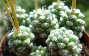 Anacampseros filamentosa subsp. tomentosa