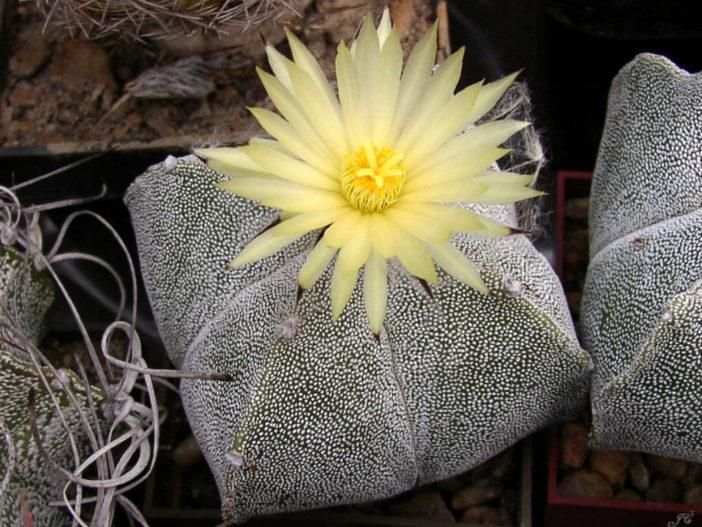 Astrophytum myriostigma var. quadricostatum (Bishop's Cap Cactus)