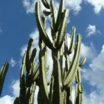 Cereus stenogonus (Narrow-angled Cereus)