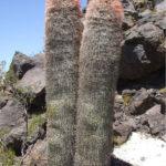 Denmoza rhodacantha