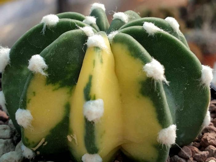 Echinopsis subdenudata f. variegata