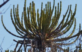 Euphorbia confinalis (Lebombo Euphorbia)