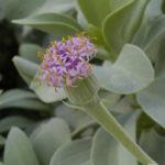Kleinia semperviva aka Senecio sempervivus