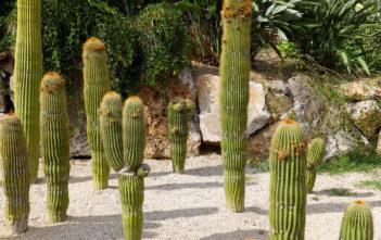 Neobuxbaumia polylopha (Cone Cactus)