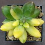 Pachyphytum compactum f. variegata