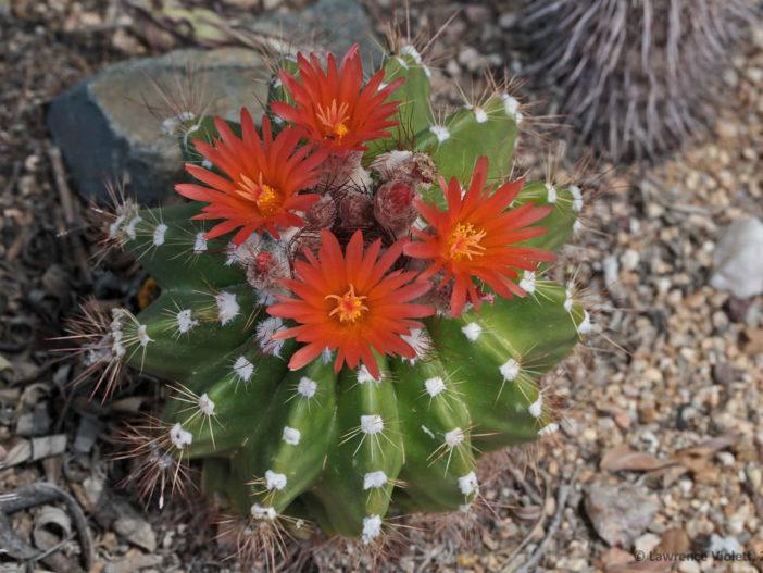 Parodia ottonis subsp. horstii