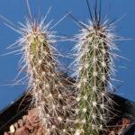 Peniocereus serpentinus (Snake Cactus)