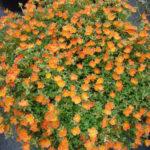 Portulaca oleracea 'Balriorg' (Purslane) aka Portulaca oleracea 'Rio Orange'