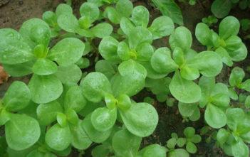 Portulaca oleracea subsp. sativa (Golden Purslane)