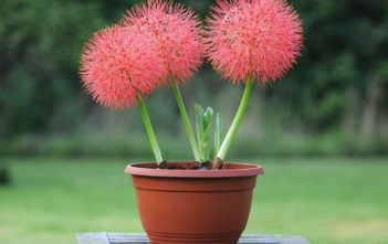 Scadoxus multiflorus (Blood Lily)