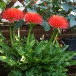 Scadoxus multiflorus (Blood Lily)