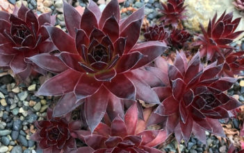 Sempervivum 'Fashion Diva' (Chick Charms Strawberry Kiwi)