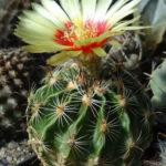 Thelocactus setispinus (Miniature Barrel Cactus)