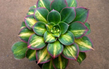 Aeonium 'Moonburst'