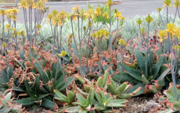 Aloe maculata 'Yellow Form' (Yellow Soap Aloe)