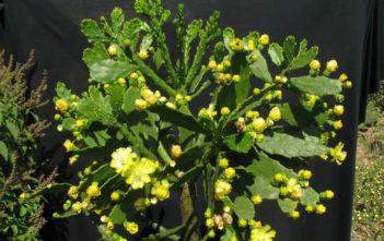 Brasiliopuntia brasiliensis (Brazilian Prickley Pear)