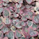 Ceropegia linearis subsp. woodii f. variegata (Variegated Chain of Hearts) aka Ceropegia woodii f. variegata