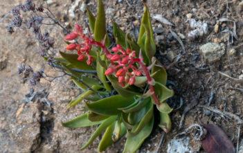 Dudleya lanceolata (Lanceleaf Liveforever)