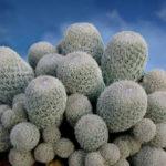 Epithelantha micromeris subsp. polycephala (Button Cactus)