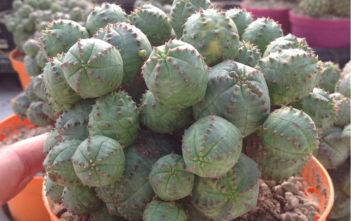 Euphorbia pseudoglobosa (False Globose Spurge)