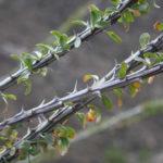 Fouquieria splendens (Ocotillo)