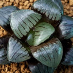 Haworthia 'Tropical Night'