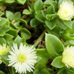 Mesembryanthemum haeckelianum (Yellow Sunrose)
