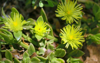 Mesembryanthemum haeckelianum (Yellow Sunrose)