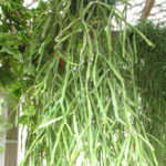 Rhipsalis trigona (Mistletoe Cactus)