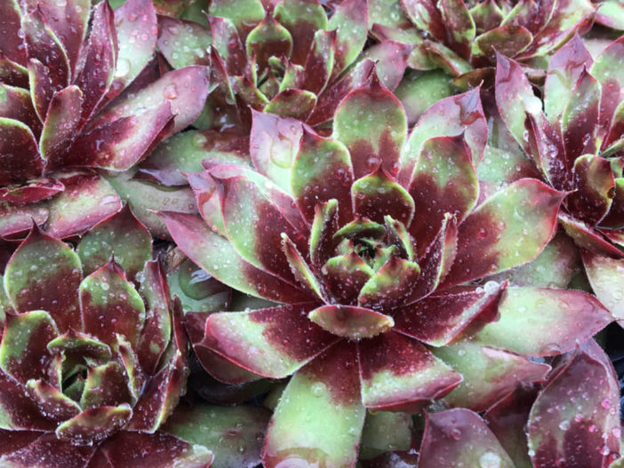 Sempervivum 'Killer'